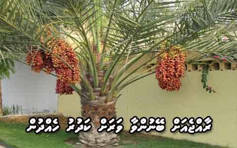 Date plantations